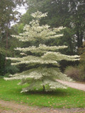 Wedding Cake Tree / Cornus controversa 'Variegata' 1-2ft Tall In a 4L Pot