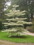 Wedding Cake Tree / Cornus controversa 'Variegata' 1-2ft Tall In a 2L Pot