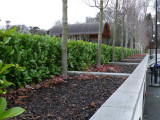 20 Cherry Laurel 3ft Multi-Stemmed Prunus Rotundifolia, In 3L Pots, Fast Growing Evergreen Hedging