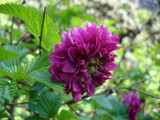 3 Rubus spectabilis 'Olympic Double' / Salmonberry 'Olympic Double' in 10cm Pots