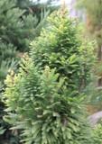 Taxodium distichum / Bald Cypress, 40-60cm Tall in 9cm Pot