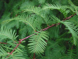 Metasequoia Glyptostroboides / Dawn Redwood, In 9cm Pot, Fast Growing Tree