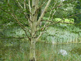 1 Silver Birch Jacquemontii 4-5ft Trees, 2L Pot, Himalyan White Birch, Betula