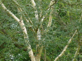 5 Silver Birch Jacquemontii 4-5ft Trees, in Pots, Himalyan White Birch, Betula