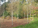 9 Silver Birch Jacquemontii 4-5ft Trees, in Pots, Himalyan White Birch, Betula