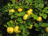 Quince Tree 'Champion' 3-4ft Tall 5L Pot Ready to Fruit.Make Tasty Pies & Jelly