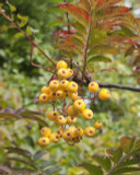 Mountain Ash 'Joseph Rock' / Sorbus 'Joseph Rock' 4-5ft tall Stunning Colours