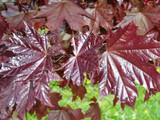 Maple 'Crimson King' / Acer Platanoides 'Crimson King' 4-5ft Tall in a 5L Pot.