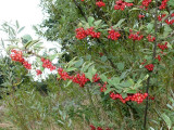 25 Franchet's Cotoneaster 2-3ft ,Semi-Evergreen Cotoneaster Franchetii Hedging