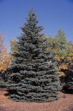 5 Blue Spruce Xmas Trees,Picea Pungens Glauca 20-40cm.Lovely Blue Pine Needles
