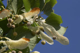 10 Small-leaved Lime / Tilia Cordata, 40-60cm Tall  With a Rich Scent