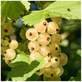 5 Witte Hollander White Currant / Ribes Rubrum 'Witte Hollander', Multi-stemmed