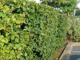 3 Hornbeam 2-3ft Hedging Plants, In 1L Pots Carpinus Betulus Trees.Winter Cover