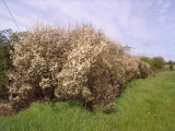 1 Blackthorn Hedging 40-60cm, Prunus Spinosa 2ft Sloe Hedge, Flowers & Fruit
