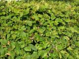 1 Hornbeam 2-3ft Hedging Plant, 60-90cm Carpinus Betulus Tree, Winter Cover