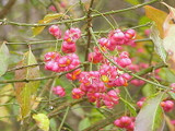 1 Spindle Hedging 2ft Tall, Euonymus Europaeus,Beautiful Pink Autumn Berries