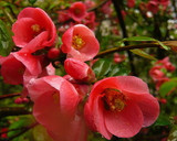 Chaenomeles Japonica / Japanese ( Maule's) Quince Tree,40-60cm Tall