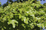 10 Field Maple Hedging, Native Trees Acer Campestre 2-3ft Plants,Autumn Colour