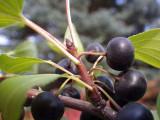 25 Common Buckthorn / Rhamnus Cathartica 2-3ft Tall, Wildlife Hedging Plants