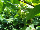 50 Hazel Plants,Flowering Edible Nut Hedge,1-2ft Wildlife Friendly Hedge 40-60cm