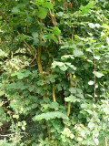 100 Hazel Plants,Flowering Edible Nut Hedge,1-2ft Wildlife Friendly Hedge 40-60cm