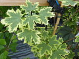 Maple 'Drummondii' / Acer Platanoides 'Drummondii' 4-5ft Tall, in a 6L Pot