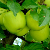 Granny Smith Apple Tree 4-5ft Ready to fruit,Self-Fertile,Green With Sharp Taste