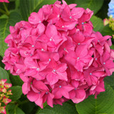 Hydrangea macrophylla 'King George' In 2L Pot, Large Heads Of Rose-Pink Flowers