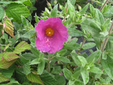 Cistus Pulverulentus 'Sunset' Rock Rose 20-30cm Tall in 2L Pot With lovely Rose-Pink Flowers