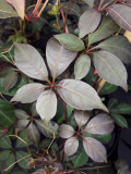3 x Parthenocissus Henryana / Chinese Virginia Creeper 2-3ft Tall In a 2L Pot