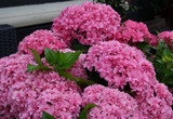 Hydrangea macrophylla 'Expression' 20-30cm Tall In 2L Pot, Stunning Flowers