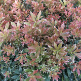Pieris 'Little Heath' 20-30cm Tall In 1-2L Pot , Stunning Evergreen Shrub