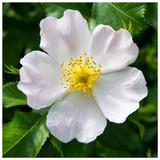 100 White Wild Rose Hedging 30-50cm Plants,Rosa Rugosa Alba,Flower & Fruit