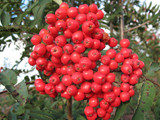 Rowan Sheerwater Seedling 4-5ft Tall /  Mountain Ash Sorbus Aucuparia