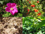 45 Mixed Native Wildlife Hedging Plants For 5 m / 16ft,8 Native Varieties