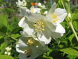3 Philadelphus 'Lemoinei' Plants / Mock orange 'Lemoinei', 1-2ft Tall in 2L Pots