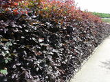 3 Copper Purple Beech 2-3ft Tall Hedging Trees, Stunning all Year Colour 60-90cm