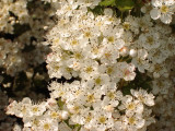 25 Hawthorn Hedging Plants 40-60cm,Wildlife Friendly 1-2ft Hawthorne Hedges