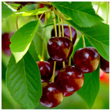 'Early Rivers' Cherry Tree 3-4ft ,Ready to Fruit,Large Dark Juicy Cherries