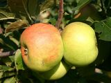 Blenheim Orange Apple Tree 4-5ft in 6L Pot, Nutty, Sweet & Crumbly, Ready to Fruit
