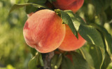 'Peregrine' Peach Tree 4-5 ft Self-fertile,Excellent Rich Flavour,Early Cropping