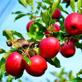 Katy Apple Tree  4-5ft, Ready to fruit. Sweet,Juicy Strawberry Taste