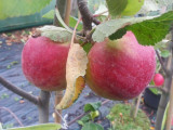 Laxton's Superb Apple Tree 4-5ft, Ready to Fruit, Crisp,Sweet,Crunchy & Juicy