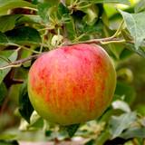 Fiesta Apple Tree 4-5ft , Self-Fertile ,Sweet,Sharp & Juicy