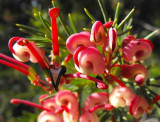 3 Grevillea 'Olympic Flame' Grevillea 25-30cm Tall in 2L Pots, Stunning Red Flowers