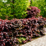 3 Copper Purple Beech Hedging 40-60cm Beautiful Strong 2yr Old Plants 1-2ft Tall