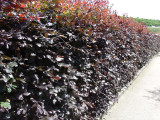 100 Copper Purple Beech 2-3ft Tall Hedging Trees, Stunning all Year Colour 60-90cm