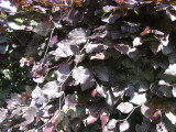 5 Copper Purple Beech Hedging 40-60cm Beautiful Strong 2yr Old Plants 1-2ft Tall