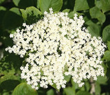 3 Elder Flower Hedge Plants 1-2ft,Make Elderberry Wine & Elderflower Lemonade