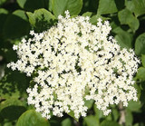 5 Elder Flower Hedge Plants 1-2ft,Make Elderberry Wine & Elderflower Lemonade